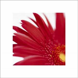 Gerbera Bright Red on White