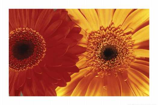 Gerbera Daisies $4.00 min 3. Add to Cart