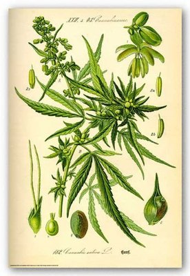 Cannabis Sativa Botanical